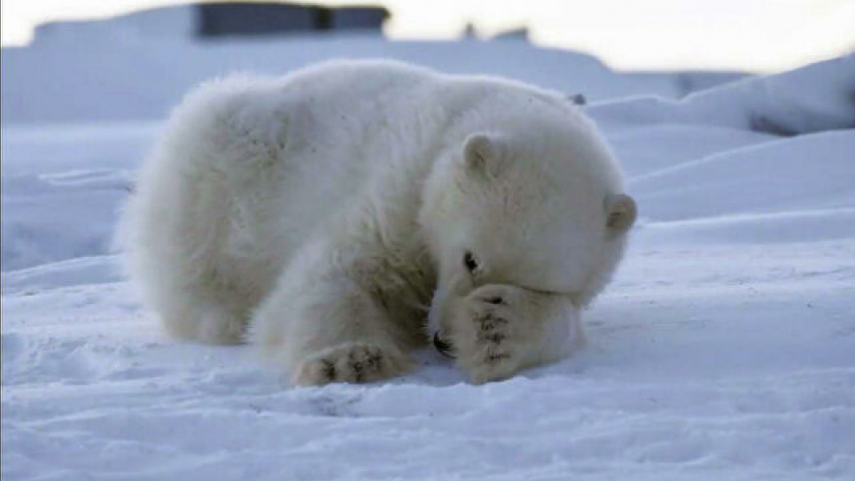 Дрон зняв купання білих ведмедів в крижаному «киселі»