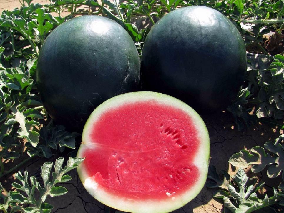 Узбецькі фермери виростили унікальні чорні кавуни без кісточок
