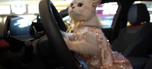 У Китаї моделлю на автовиставках працює кішка, яка отримує понад 40 тис грн за вихід