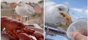 Британец приручает чайку деликатесами: реалити-шоу ведет в TikTok