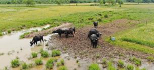 У Долині нарцисів наразі живуть карпатські буйволи
