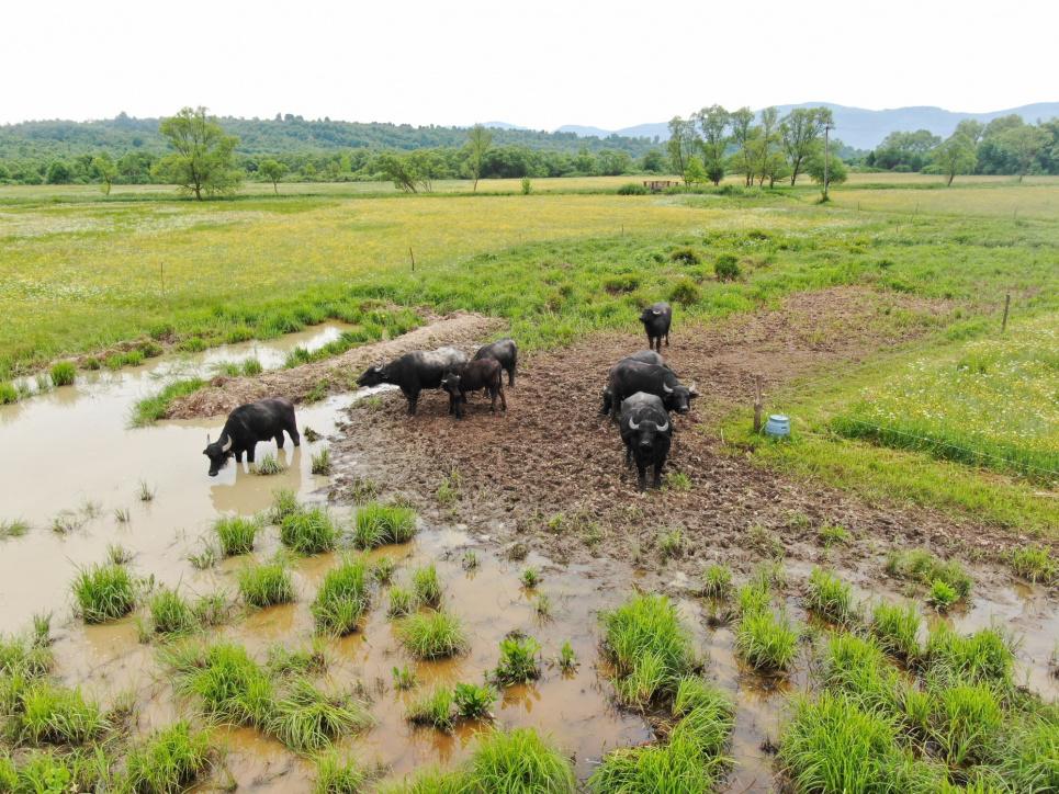 В Долине нарциссов пока живут карпатские буйволы