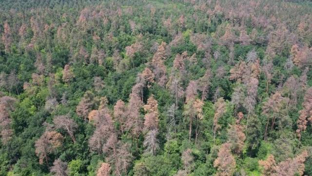 Поблизу Черкас всихає 140-річний ліс