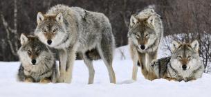 Айдахо вб'є 90 % вовків штату