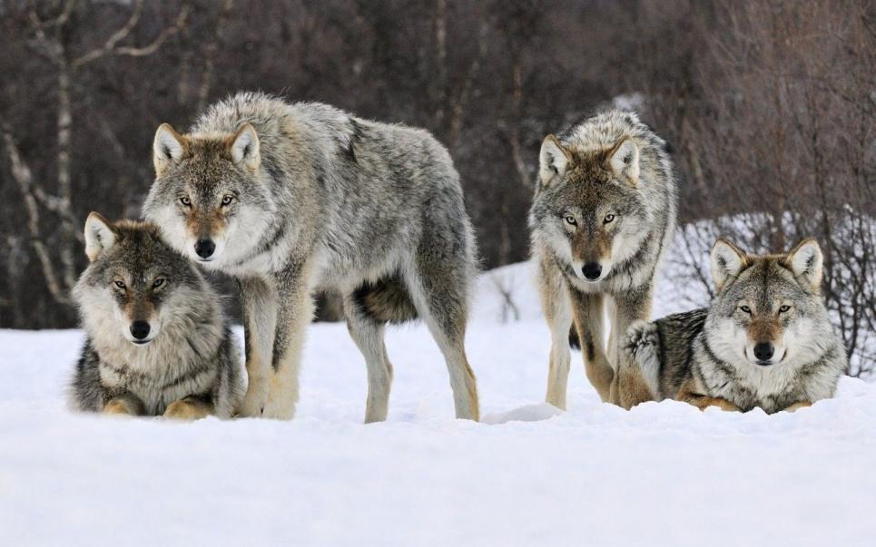 Айдахо убьет 90 % волков штата
