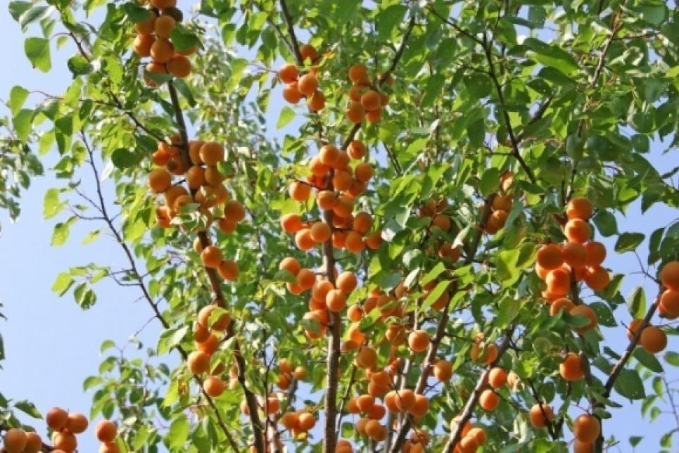 Украинские фермеры-селекционеры выводят новые сорта кустовых абрикосов и персиков