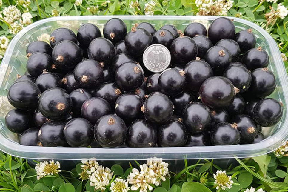 Украинцы вырастили сорт смородины, ягоды которой достигают размера гривни. Фото с испытательного участка ООО «ФруТек»