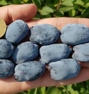 В Украине вырастили самую большую в мире ягоду с огромным содержанием антиоксидантов