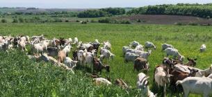 Фермер держит 340 коз и делает невероятные сыры с плесенью, рикоттой и мороженое