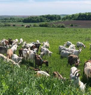 Фермер тримає 340 кіз і робить неймовірні сири з пліснявою, рікоту та морозиво