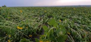 На Одещині негода «вкатала» поля кукурудзи й соняшника в землю