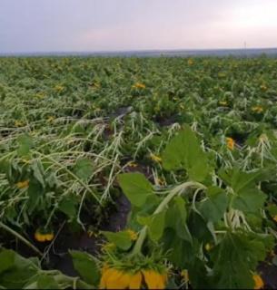 В Одесской области непогода «укатала» поля кукурузы и подсолнечника в землю