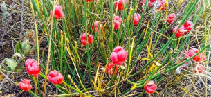 На Одещині квітне степова малина