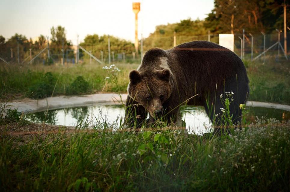 В Киевской области откроется медвежий приют «Белая скала»