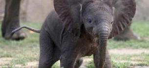 Всесвітній день слонів: що ми з ними робимо