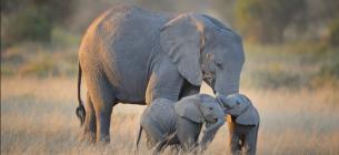Через COVID-19 слонів у світі поменшало