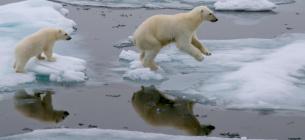 Белая медведица с детенышем прыгают через льдину в Северном Ледовитом океане к северу от острова Шпицберген (Норвегия)