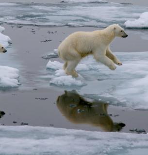 Біла ведмедиця з дитинчам стрибають через крижину в Північному Льодовитому океані на північ від острова Шпіцберген (Норвегія)