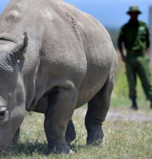 Найджін — одна з двох останніх північних білих носорогів, які залишилися у світі